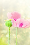 Pink poppy Royalty Free Stock Images