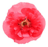 Pink poppy Stock Photo