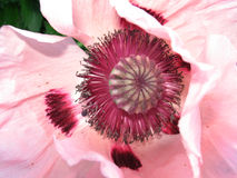 Pink poppy. Close up poppy flower from Kew gardens Stock Images