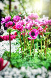 Pink poppy anemone flowers Royalty Free Stock Photo