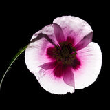 Pink poppy. Backlit pink poppy isolated on blak background stock photography