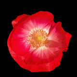Pink poppy on a black background Stock Photos