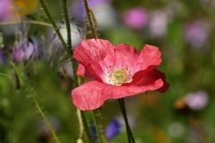 Pink, Poppy, Blossom, Bloom, Flower Royalty Free Stock Images