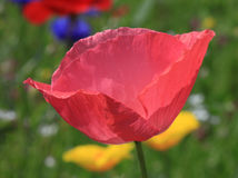 Pink poppy Stock Photos
