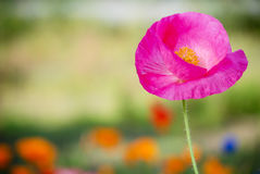 Pink Poppy close up royalty free stock image