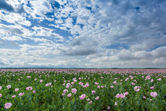 Pink poppy field Royalty Free Stock Photo