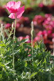 Pink poppy flower. Blooming in the sun Stock Images
