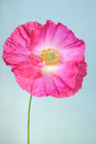 Pink poppy flower Royalty Free Stock Photography