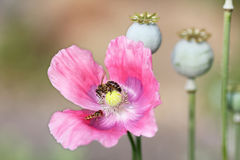 Pink poppy flower and capsules in the spring garden Royalty Free Stock Image