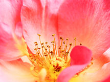 Pink poppy flower close up. Inside of pink poppy flower Royalty Free Stock Photo