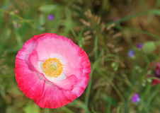 Pink poppy flower close up Royalty Free Stock Photo