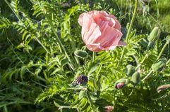 Pink poppy flower closeup stock images