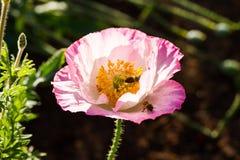Pink poppy flower Stock Images