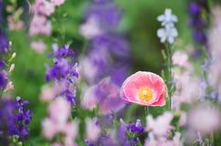 Pink poppy flower Royalty Free Stock Photos