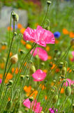 Pink poppy flower garden Stock Photo