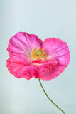 Pink poppy flower Stock Photos