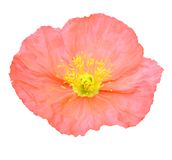 Pink poppy flower Royalty Free Stock Image