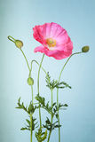 Pink poppy flower Royalty Free Stock Images
