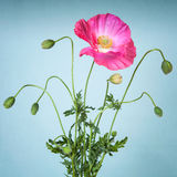 Pink poppy flower Royalty Free Stock Photo
