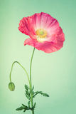Pink poppy flower on light turquoise vintage background Stock Photography