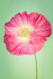 Pink poppy flower on light  vintage background Royalty Free Stock Image