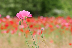 Pink poppy flower Stock Image