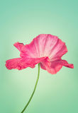 Pink poppy flower on  vintage background Royalty Free Stock Image