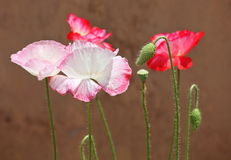 Pink poppy Stock Photography