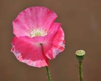 Pink poppy Royalty Free Stock Image