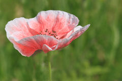 Pink poppy over green Royalty Free Stock Images