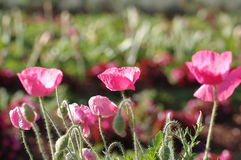 Pink poppy. A patch of pink poppies blooming in the sun Stock Images