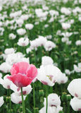 Pink poppy-seed in the field of white Stock Image