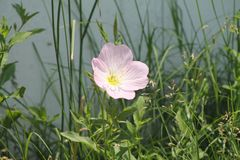 Pink Poppy. A single pink poppy with a natural background Stock Photo