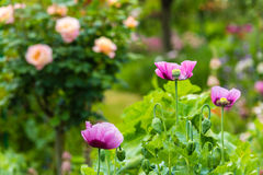 Pink poppy in a summer garden on sunny day Royalty Free Stock Images