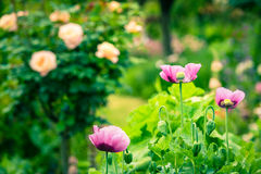 Pink poppy in a summer garden on sunny day Stock Photography
