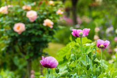 Pink poppy in a summer garden on sunny day Stock Photo