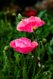 Pink Poppy Royalty Free Stock Image