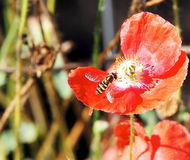Pink Poppy With Wasp Stock Images