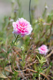 Pink Portulaca  flower Stock Photos