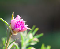 Pink portulaca flowers Stock Photos