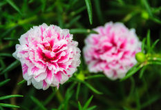 Pink Portulaca grandiflora flowers Royalty Free Stock Photography