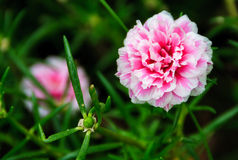 Pink Portulaca grandiflora flowers Royalty Free Stock Photo