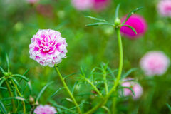 Pink Portulaca grandiflora flowers Royalty Free Stock Images