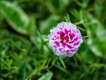Pink portulaca and green leaf  in  garden. Pink flower on blur green leaf background Royalty Free Stock Photography