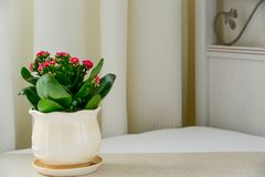 Pink pot flower Kalanchoe in interior Royalty Free Stock Image
