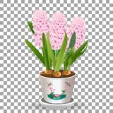 Pink potted hyacinth grows from a bulb in the soil isolated on a transparent background a spring flower vector illustration. Eps10 Stock Image