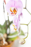 Pink potted orchid Royalty Free Stock Photography