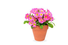 Pink potted primrose isolated on white - Primula Stock Photography