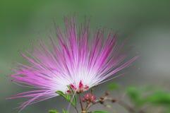 Pink powder puff Stock Photos