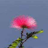 Pink Powder Puff flower Stock Photos